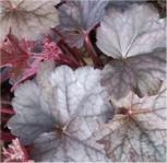 Purpurglöckchen Regina - Heuchera micrantha - Vorschau
