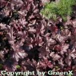 Purpurglöckchen Plum Pudding - Heuchera micrantha