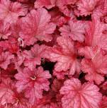 Purpurglöckchen Berry Smoothie - Heuchera micrantha - Vorschau