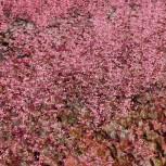 Purpurglöckchen Rachel - Heuchera micrantha