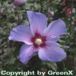 Rosen Eibisch Blue Bird 40-60cm - Hibiscus syriacus