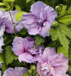 Garteneibisch Blue Chiffon 60-80cm - Hibiscus