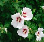 Garteneibisch Helen 40-60cm - Hibiscus