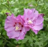 Garteneibisch Lavender Chiffon 40-60cm - Hibiscus - Vorschau
