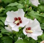 Garteneibisch Mathilda 40-60cm - Hibiscus