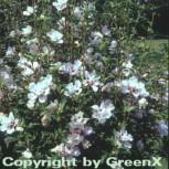 Rosen Eibisch Speciosus 40-60cm - Hibiscus