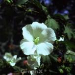 Rosen Eibisch Totus Albus 40-60cm - Hibiscus