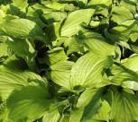 Funkie Honeybells - Hosta plantaginea