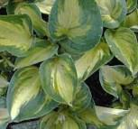 Funkie Great Expectation - großer Topf - Hosta cultorum