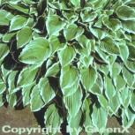 Große Weißrand Funkie - Hosta crispula - Vorschau