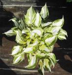 Funkie Fire and Ice - Hosta fortunei