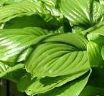 Grünblattfunkie Aphrodite - Hosta plantaginea - Vorschau