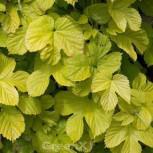 Wilder Gold Hopfen 60-80cm - Humulus lupulus aurens