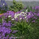 Glockenblaustern White City - Hyacinthoides hispanica