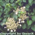 Kletter Hortensie 100-125cm - Hydrangea petiolaris