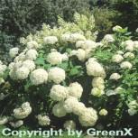 Ballhortensie Annabelle 80-100cm - Hydrangea arborescens - Vorschau