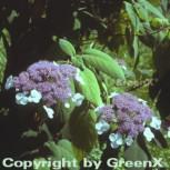 Samthortensie 80-100cm - Hydrangea sargentiana - Vorschau