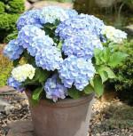 Kleinwüchsige Gartenhortensie Nikko Blue 40-60cm - Hydrangea macrophylla