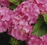 Bauernhortensie Xian 40-60cm - Hydrangea macrophylla