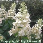 Rispenhortensie Kyushu 60-80cm - Hydrangea paniculata - Vorschau