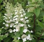 Rispenhortensie Levana® 60-80cm - Hydrangea paniculata - Vorschau