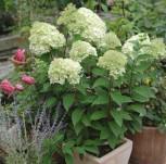 Rispenhortensie Little Lime® 40-60cm - Hydrangea paniculata - Vorschau