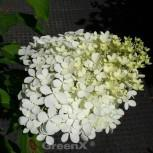 Rispenhortensie Rastede 125-150cm - Hydrangea paniculata - Vorschau