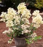 Rispenhortensie Wims Red 40-60cm - Hydrangea paniculata - Vorschau