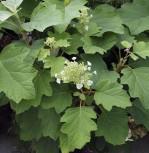 Eichenblättrige Hortensie Burgundy 125-150cm - Hydrangea quercifolia