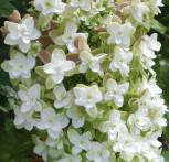 Eichenblättrige Hortensie Harmony 40-60cm - Hydrangea quercifolia - Vorschau