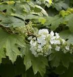 Eichenblättrige Hortensie Sikes Dwarf 100-125cm - Hydrangea quercifolia