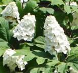 Eichenblättrige Hortensie Snow Queen 30-40cm - Hydrangea quercifolia