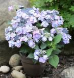 Teller Hortensie Veerle 30-40cm - Hydrangea serrata - Vorschau