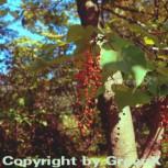 Japanische Orangenkirsche 30-40cm - Idesia polycarpa