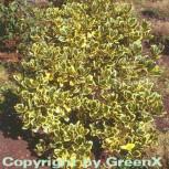 Gelbbunte Stechpalme Ilex Golden King 100-125cm - Ilex altaclerensis - Vorschau