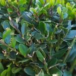 Löffel Ilex Dark Green 25-30cm - Ilex crenata