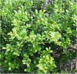 Bonsai Japanische Stechpalme Ilex Glorie Gem 40-60cm - Ilex crenata