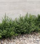 Japanische Zwerg Stechpalme Green Lustre 20-25cm - Ilex crenata - Vorschau