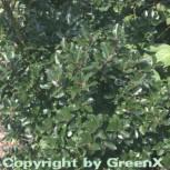 Stechpalme Ilex männlich Blue Prince 80-100cm - ilex meserveae