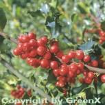 Fruchtende Stechpalme Ilex Blue Princess 100-125cm - ilex meserveae - Vorschau