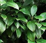 Japanische Sternanis 30-40cm - Illicium annisatum