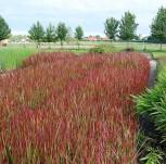 Japanisches Blutgras Red Baron - Imperata cylindrica - Vorschau