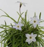 Sternblume White Star - Ipheion uniflorum - Vorschau