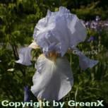 Schwertlilie Blue Sapphire - Iris barbata - Vorschau