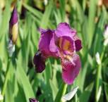 Schwertlilie Imperator - Iris barbata
