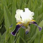 Schwertlilie Wabash - Iris barbata