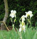 Schwertlilie Lugano - Iris barbata - Vorschau
