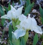 Zwergschwertlilie Lilly White - Iris barbata nana - Vorschau