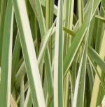 Japanische Sumpf Schwertlilie Variegata - Iris ensata