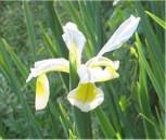 Steppen Iris - Iris ochroleuca
